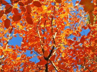 обои Желтые листья осенних деревьев, на фоне голубого неба фото