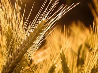 обои Колосок пшеницы фото