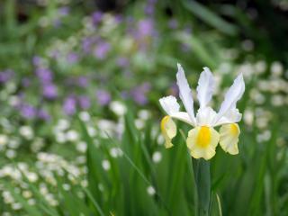 обои Нарцисс фото
