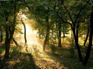 обои Солнечные лучи всквозь лесные деревья фото