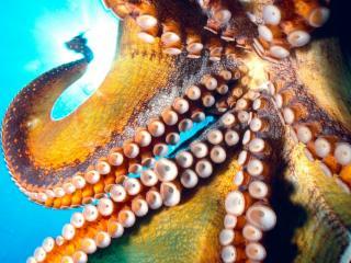 обои Коварный осьминог фото