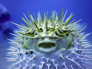 обои Опасная рыба с иголками фото