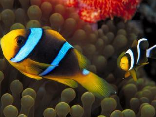 обои Полосатые рыбки в море фото