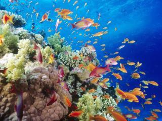 обои Косяк оранжевых рыбок фото