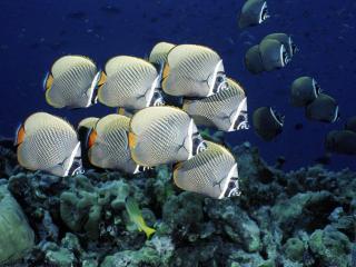 обои Косяк шахматных рыб фото