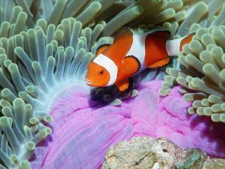 обои Красивая рыбка среди рифов фото