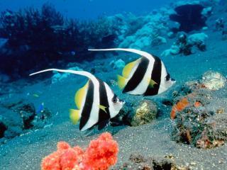 обои Рыбки с хохолком фото