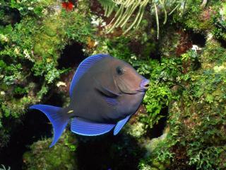 обои Серая рыбка с синим оттенком фото