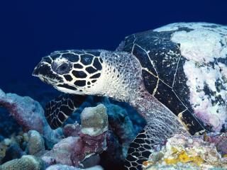 обои Большая пятнистая черепаха фото