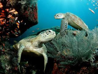 обои Влюбленные черепахи фото