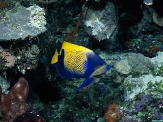 обои Желто-синяя рыбка фото