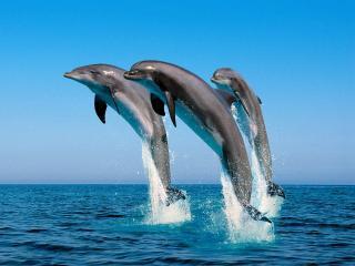 обои Три дельфина в танце фото
