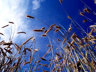 обои Колосья пшеницы фото