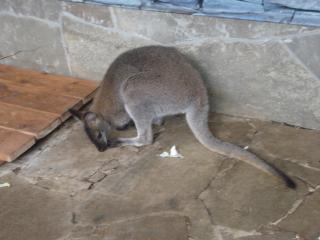 обои Кенгуру не в Австралии фото