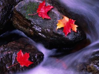 обои Опавшие осенние листья на камнях у ручья фото