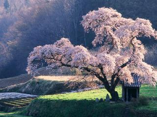 обои Японская цветущая сакура, весна фото