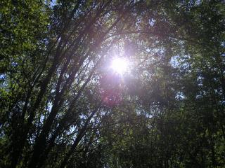 обои Солнце за деревьями фото
