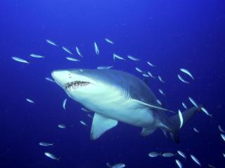 обои Predator,   Sand Tiger Shark фото
