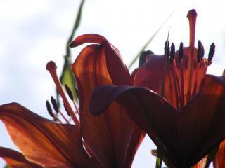обои Лилии,   рыжие фото