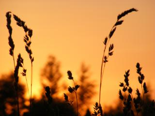 обои Трава на закате фото