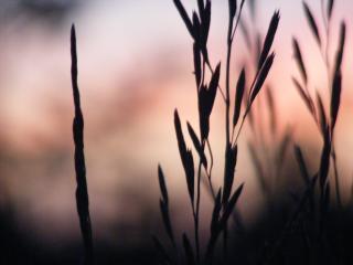 обои Утро,   травинки на рассвете фото