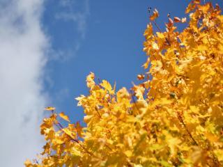 обои Золотая листва фото
