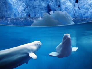 обои Belugas Underwater фото