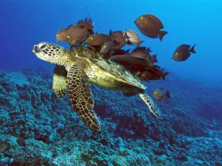 обои Green Sea Turtle Being Cleaned by Reef Fishes,   Hawaii фото