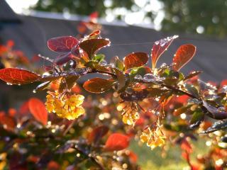обои Цветущий барбарис на солнце после дождя фото