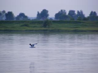 обои Одинокая птица над Волгой фото