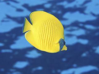 обои Butterfly Fish фото