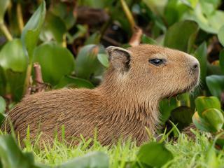обои Capybara,   Venezuela фото