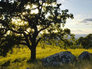обои Одинокий дуб и холмы, лето, горы Диабло Стэйт Парк, Калифорния фото