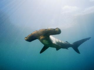 обои Scalloped Hammerhead Shark,   Kaneohe Bay,   Oahu,   Hawaii фото