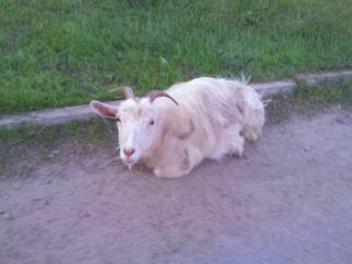 обои Белая коза фото