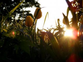 обои Жёлтые тюльпаны на солнце фото