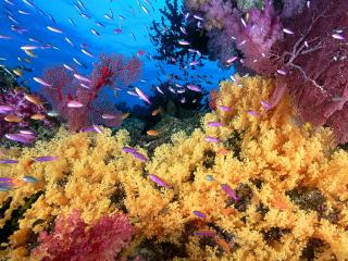 обои Soft Yellow Corals and Anthias Fish фото