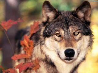 обои Волчий взгляд фото