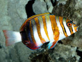 обои Полосатая экзотическая рыба фото