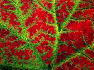 обои Зеленые прожилки на красном листе фото
