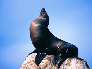 обои Морской котик фото