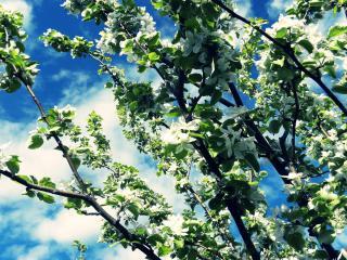 обои Цветущие весенние ветви дерева, на фоне неба фото
