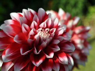 обои Пышный цветок фото