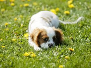 обои Собачка на траве фото