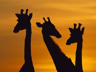 обои Giraffe Trio at Dawn,   Chobe National Park,   Botswana фото