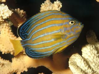 обои Seven-Lined Angelfish фото