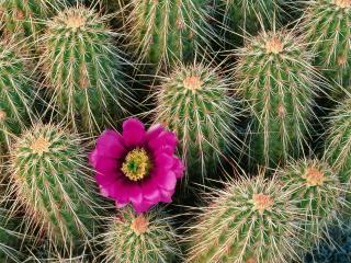 обои Хеджхог кактус, штат Аризона фото