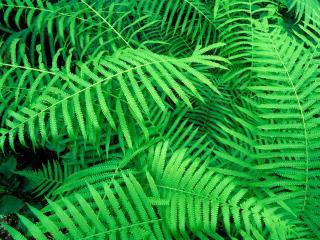 обои Зеленый папоротник фото