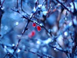 обои Сохранившиеся красные ягодки на заснеженной ветке фото