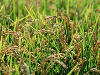 обои Сухие растения вперемежку с зеленой травой фото